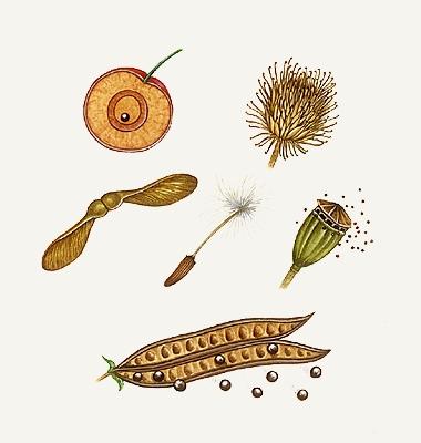 dispersion des graines svt 6ème